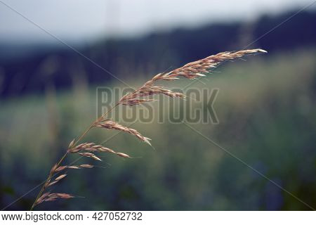 Ear of grass in a field toned photo Spikelets of grass. Toned image