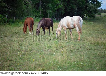 Three Horses Grazing In A Meadow Equine Animal Farm