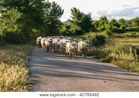 Sheep In Croatia