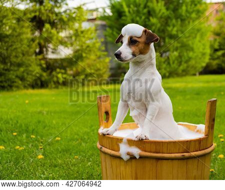 The Dog Is Washed In A Wooden Tub Outdoors. Jack Russell Terrier Take A Bubble Bath In The Backyard