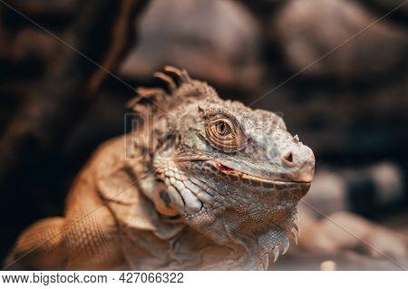 Close-up Portrait Of An Orange Colored Male Green Iguana (iguana Iguana). Bokeh Background