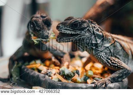 Sailfin Lizard, Hydrosaurus Weberi Close Up . Nutrition For Reptiles Concept