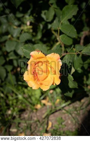 Image Of A Yellow-orange Rose With Green Leaves In Rome, Italy