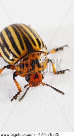 One Colorado Beetle On A White Paper Surface Close-up. Not Isolated. Bright Vertical Illustration Ab