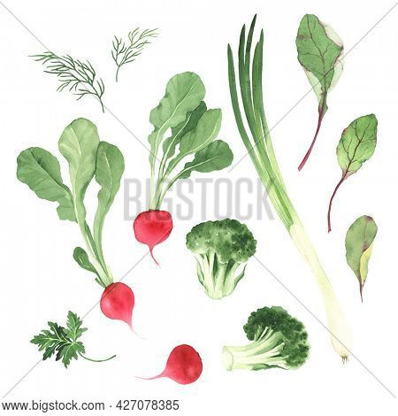 Set of vegetables and herbs, watercolor colorful collection with radish, broccoli, green onion, dill, leaves chard and rhubarb, parsley.