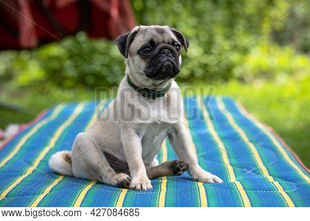 Cute Pug Puppy In A Flea And Tick Collar Sitting On Striped Mattress In Summer Garden