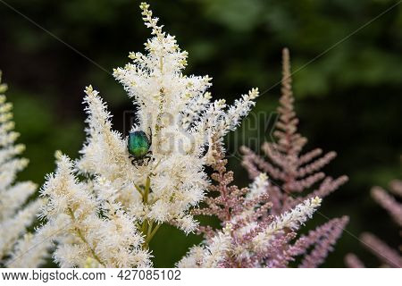 Close Up Beautiful Delicate Fluffy Colorful White Ornamental Plant Astilbe Growing In The Garden. La