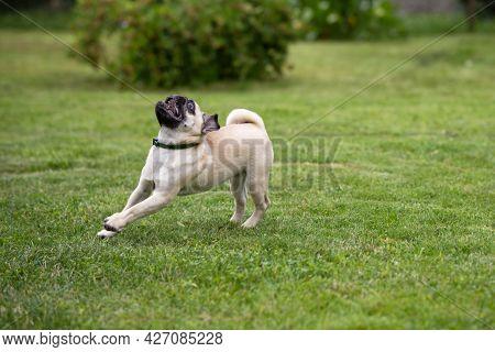 A Pug Puppy Wearing A Flea And Tick Collar Runs On A Green Lawn In A Summer Garden