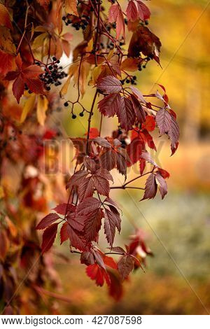 Wild Grapes With Red Leaves In The Autumn Garden