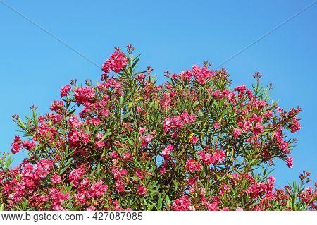 Red Flowers Of Oleander Tree ( Nerium Oleander ) Against Blue Sky On Sunny Summer Day