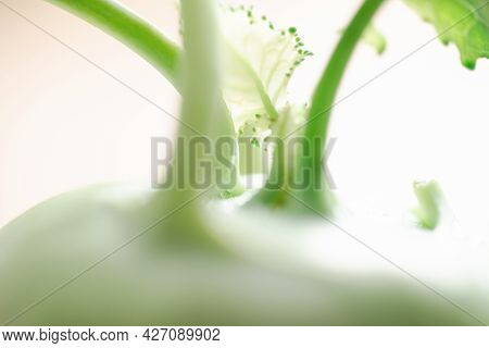Close Up Of Green Kohlrabi Plant Texture With Young Leaf