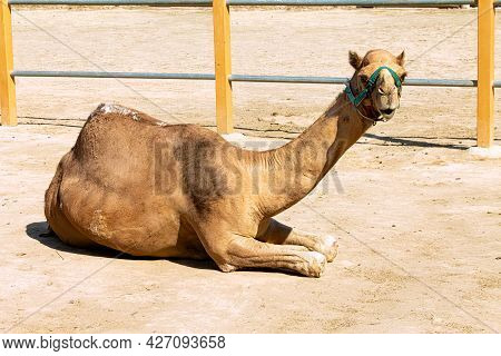A Domestic One-humped Camel Resting On The Ground At The Farm. The Dromedary Has A Green Harness On