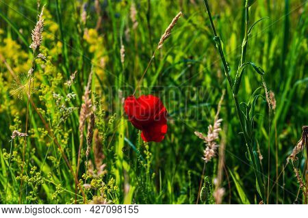 Image A Field Poppy Blooming In A Meadow Lit By The Afternoon Sun