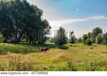 A Cow Grazing In The Meadow. Rural Landscape.
