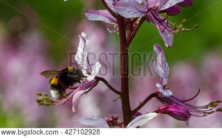 Dictamnus Is Pollinated By Bumblebees. Pink-purple Flowers Bloom In The Wild In Drops Of Dew Under S