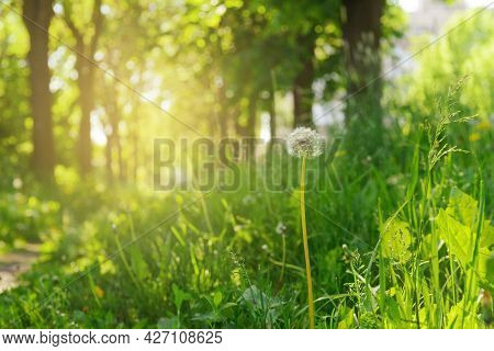 Sunny Summer Day, Green Glade Among Trees With A Dandelion