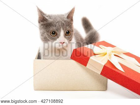 A Young British Shorthair Cat In A Present Box And Looking To The Camera On White