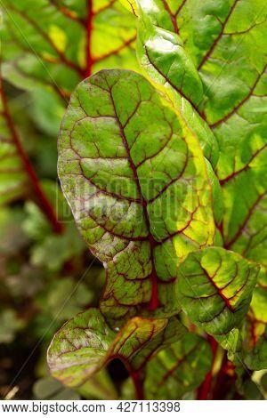 Detail View Of A Red Swiss Chard Leaf Beta Vulgaris In Summer Kitchen Garden
