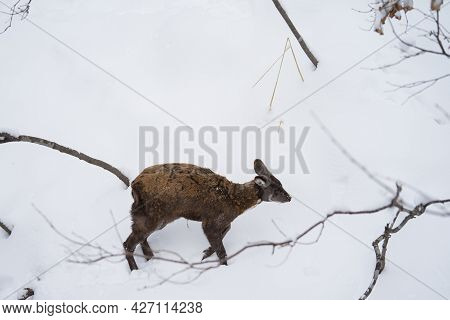 A Male Musk Deer Walks In The Snow In Winter. The Fang Is Visible. Side Or Elevation View.