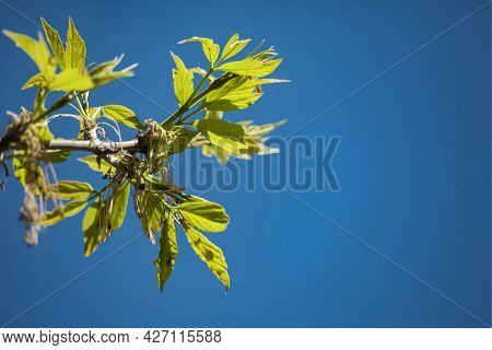 Young Shoots Of A Green Tree, Close-up Against The Blue Sky. Natural Spring Background Of Green Leav
