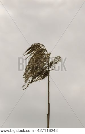Lonely Dry Reed Against Background Of Gray Cloudy Sky. Close-up. Copy Space. Vertical Photo. Selecti