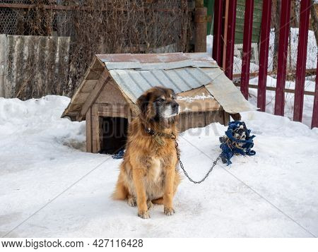 The Yard Dog Sits Near The Kennel Tied With A Chain In Winter. Dogs, Home Security