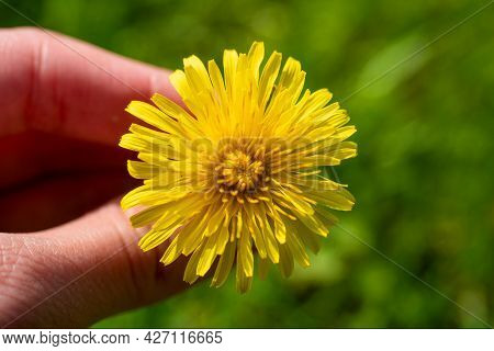 Close-up Of A Yellow Dandelion In Your Hand. Blurred Background. The Arrival Of Spring And The Appea