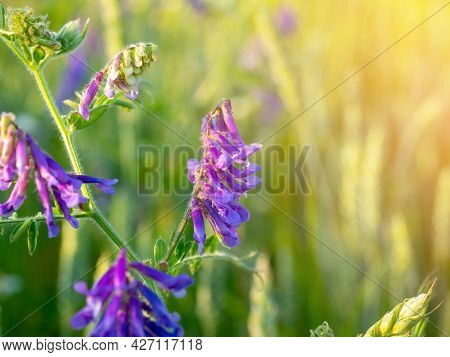 Close-up Of A Field Flower Vicia Cracca With Bright Purple Petals At Sunset. The Sun's Glare In The