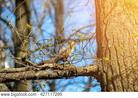 A Cute Squirrel Sits On A Tree Branch In The Park On A Sunny Day In Summer. Sun Glare, Wild Animals