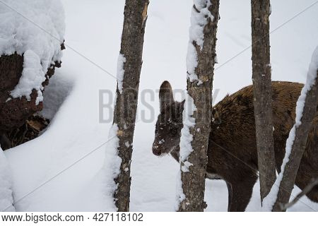 The Male Musk Deer Hiding Behind Tree Trunks In A Winter Forest On A Background Of Snow. The Fang Is