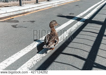 A Wild Duck Walks Along An Asphalt Road Along A White Median Lane.