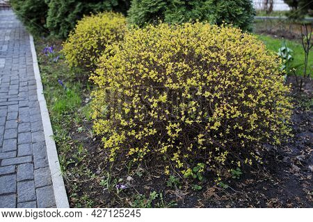 Trimmed Bushes Of Spirea With Yellow Leaves On The Background Of Thuja, Landscape Design, Early Spri