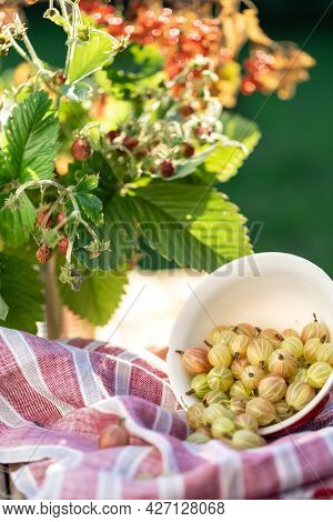 Picked Ripe Gooseberry Berries In A Cup On The Table. Decorated With Fabric And A Bouquet Of Strawbe