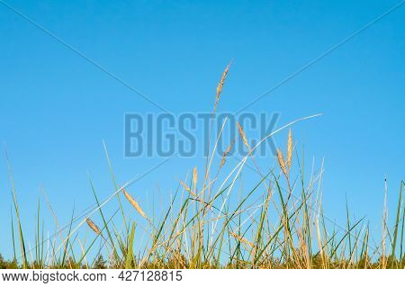 Field Grass On The Background Of The Sky. Grass On Blue Background. Dry Meadow Grass.