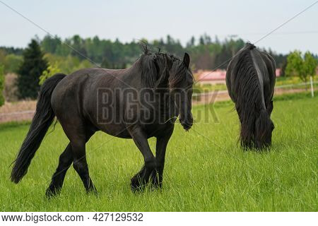 Two Black Friesian Horses Standing On The Pasture