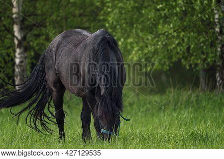 Black Friesian Horse Grazing In The Meadow