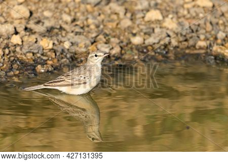 Tawny Pipit Anthus Campestris. Bathes In The Water.