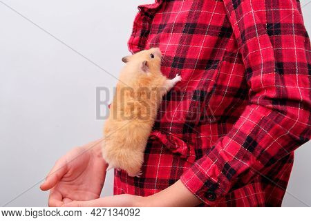 Syrian Hamster Crawling Up The Childs Shirt