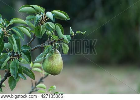 Detail Of Pear Growing On The Pear Tree Outdoors In Summer Pyrus Communis