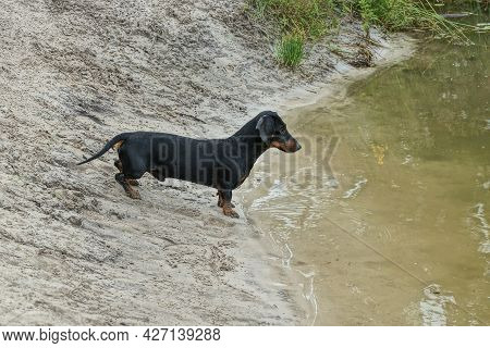 One Small Black Dog Dachshund Stands On The Gray Sand Of The Shore By The Water Of The Lake