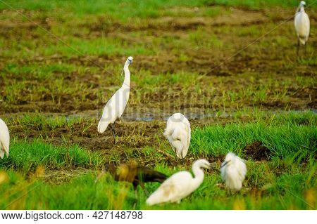 View Of A Little Egret (egretta Garzetta) And Other Birds, In The Hula Nature Reserve, Northern Isra