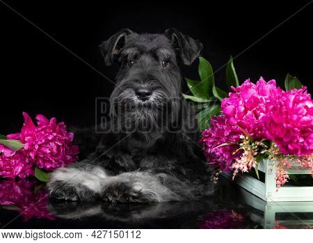 black with silver miniature schnauzer and flowers pink peonies