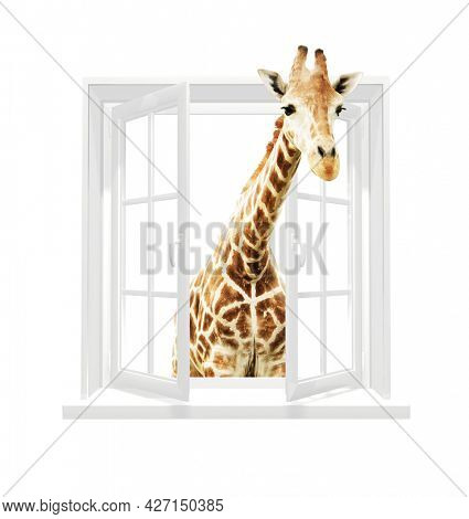 Giraffe looking through a window. Cute curious  giraffe stare at the opened window. Isolated on white background. 3d render