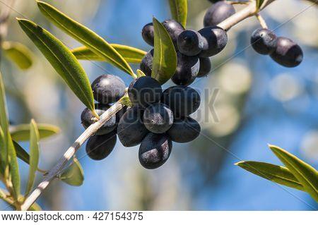 Cluster Of Ripe Black Spanish Olives Hanging On Olive Tree Branch Against Blurred Blue Sky Backgroun