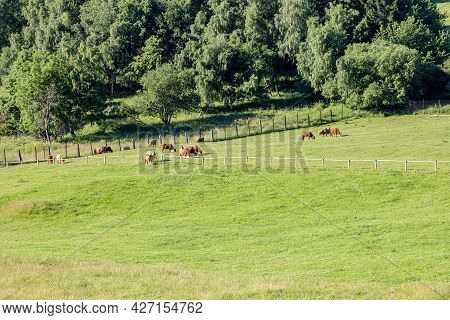 Cows On Green Pasture - Summer Landscape In Czech Republic, Europe