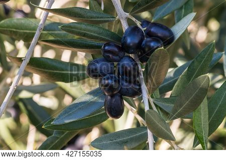 Cluster Of Ripe Black Spanish Olives Hanging On Olive Tree Branch With Blurred Background