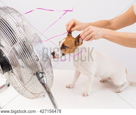 Jack Russell Terrier Enjoys The Cooling Breeze From An Electric Fan On A White Background. Woman Hol