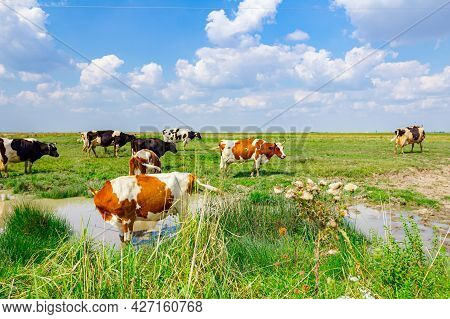 Herd Of Domestic Cows Are Grazing Grass On The Pasture At Shore By A Pond, One Is Standing In Water