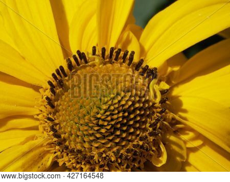 Yellow Center Of A Flower, Close-up. Arnica Flower Bud.