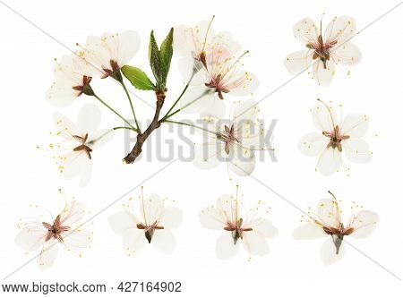 Pressed And Dried Plum Flowers, Buds Plum. Isolated On White Background. For Use In Scrapbooking, Pr